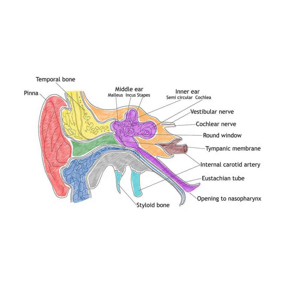 how hearing works diagram of the ear